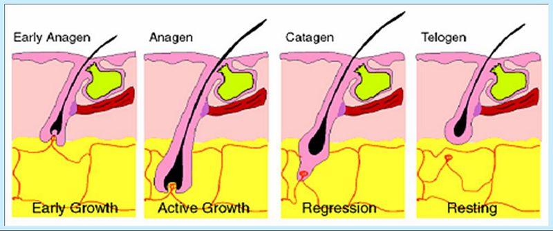 Stadiile de crestere a firului de par